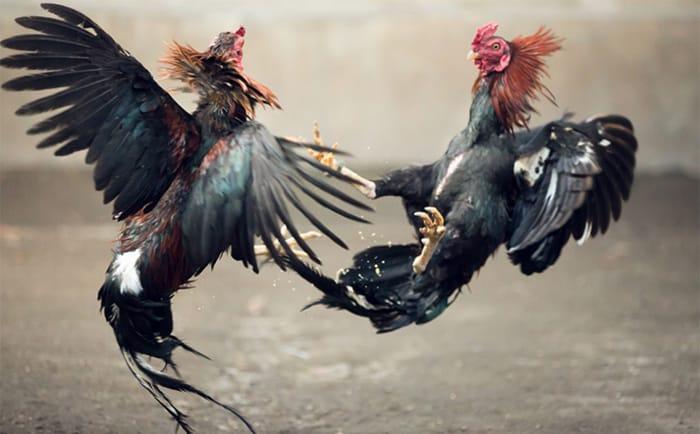 Seorang Guru Ngaji Menjadi Bandar Judi Sabung Ayam